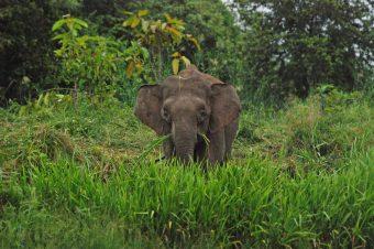 Il mio primo incontro con l'elefante del Borneo
