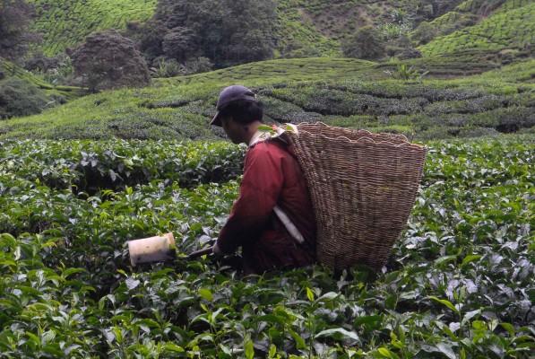 Cameron Highlands, tea worker