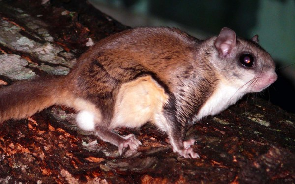 Flying Squirrel @ Wikipedia