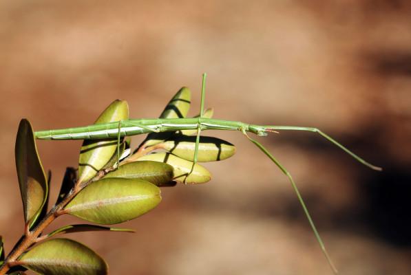 Stick insect @ Wikimedia