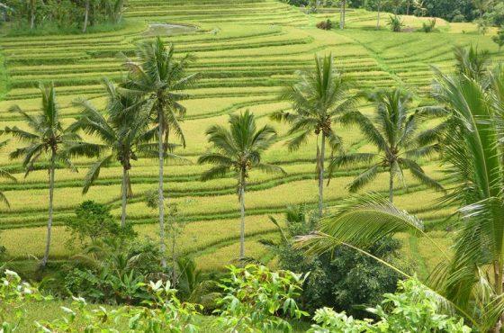 Le terrazze di riso di Jatiluwih