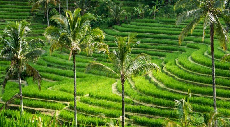 Le terrazze di riso di Tegallalang