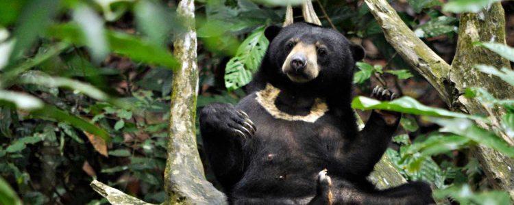 Bornean sun bear conservation centre, sun bear playing with the leaf