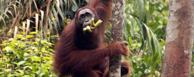 Semengooh Center, orang utan during feeding time